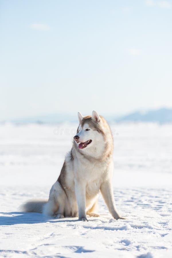 Il bello cane del husky siberiano che si siede sulla banchisa sul mare e sulla neve congelati di Ochotsk ha ricoperto peak'  fotografia stock