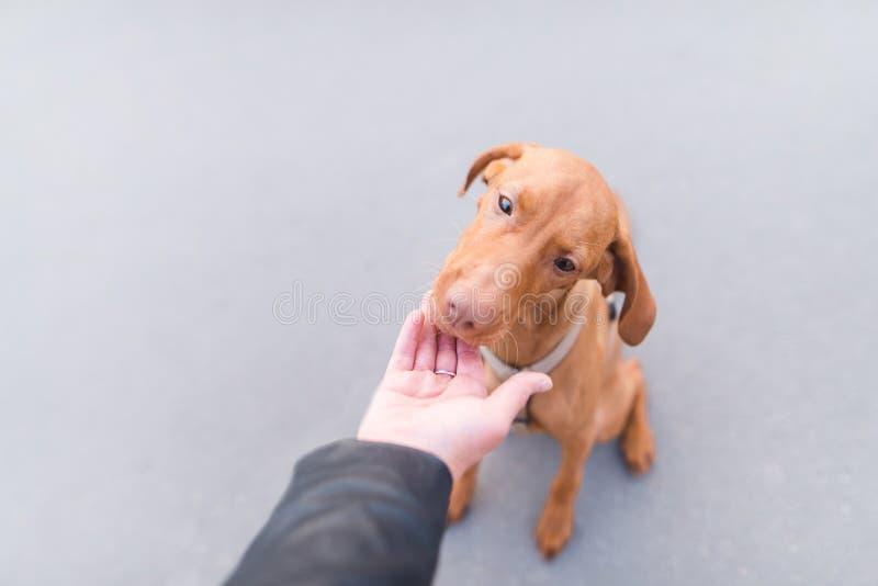 il bello cane mangia l'alimento dalle mani di un uomo sui precedenti di asfalto urbano immagini stock