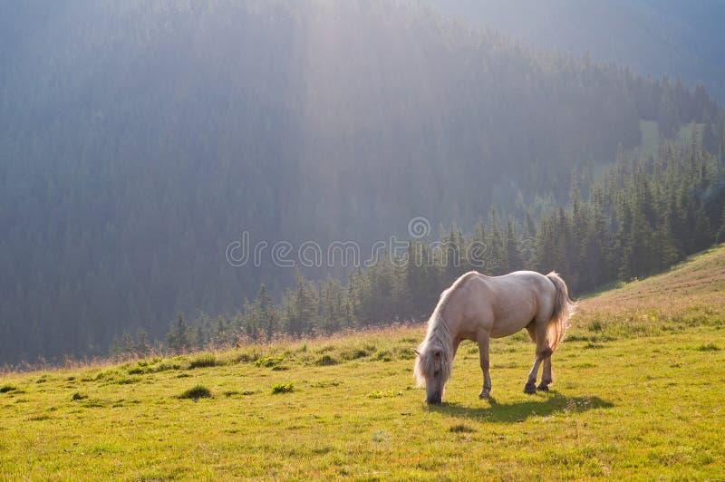 Il bello cavallo bianco su una foresta carpatica Graz del fondo fotografia stock libera da diritti