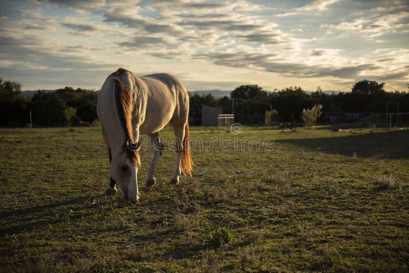Il bello cavallo pasce il pascolo dell'alpeggio immagini stock libere da diritti