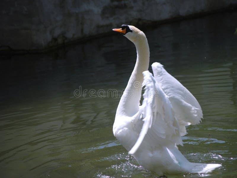 Il bello cigno bianco spande le sue ali sul lago immagini stock libere da diritti