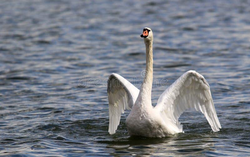 Il bello cigno spande le sue ali fotografia stock