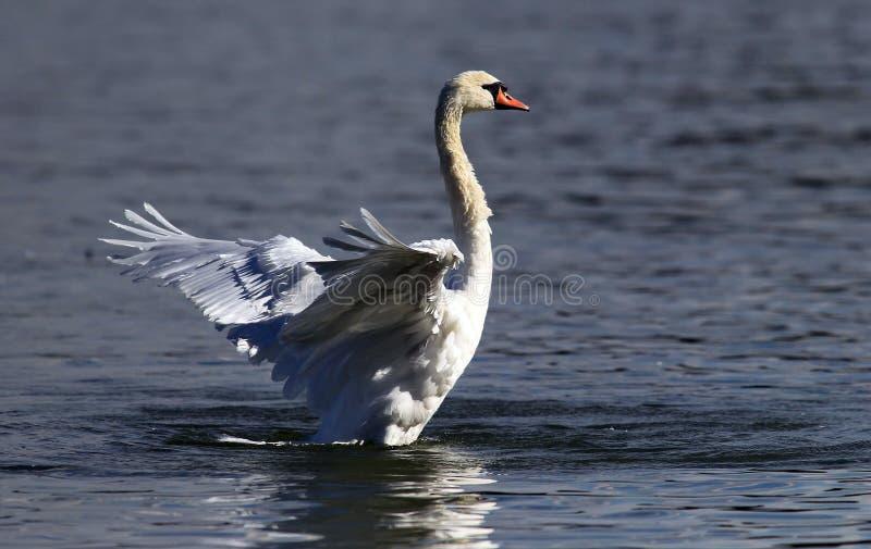 Il bello cigno spande le sue ali fotografie stock libere da diritti