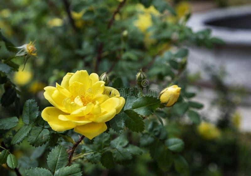 Il bello colore giallo è aumentato immagine stock libera da diritti