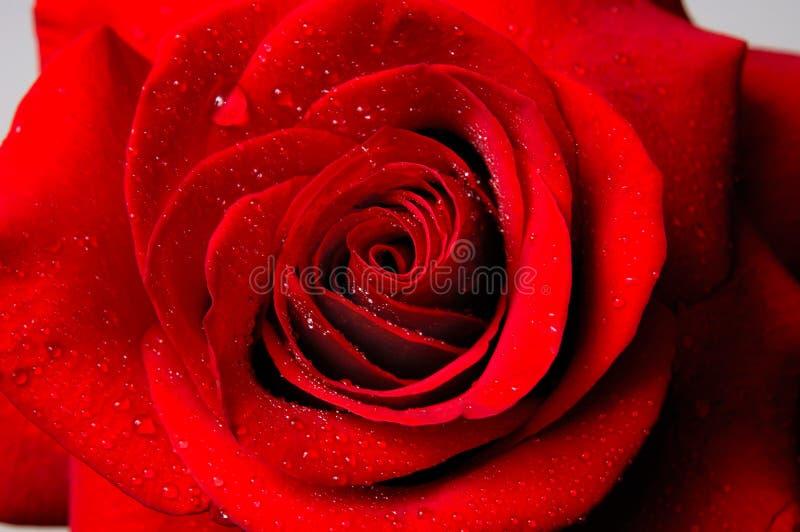 Il bello colore rosso è aumentato fotografie stock