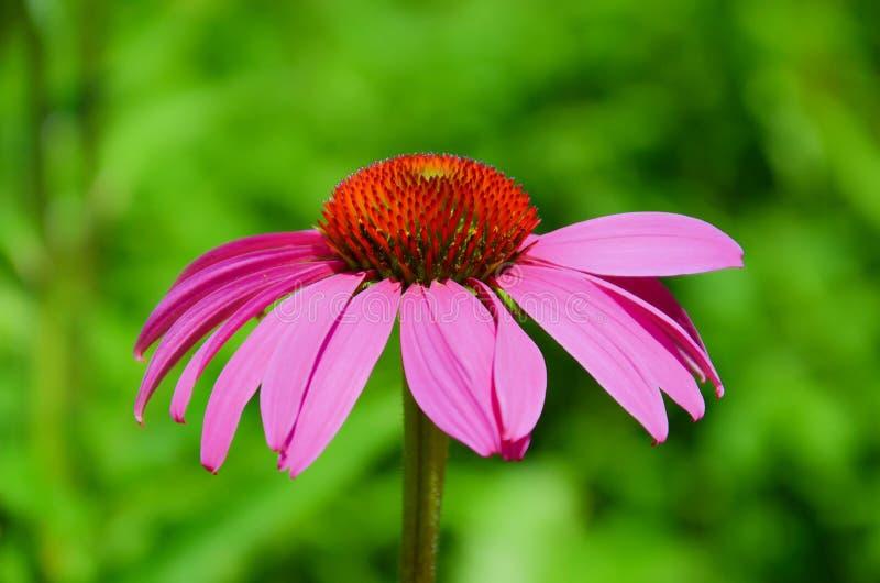 Il bello coneflower porpora, o l'echinacea purpurea, si chiude su con fondo verde vago immagini stock libere da diritti