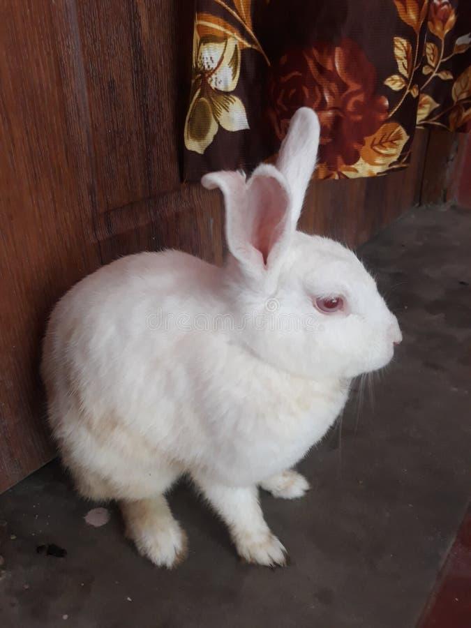 Il bello coniglio bianco fotografia stock libera da diritti