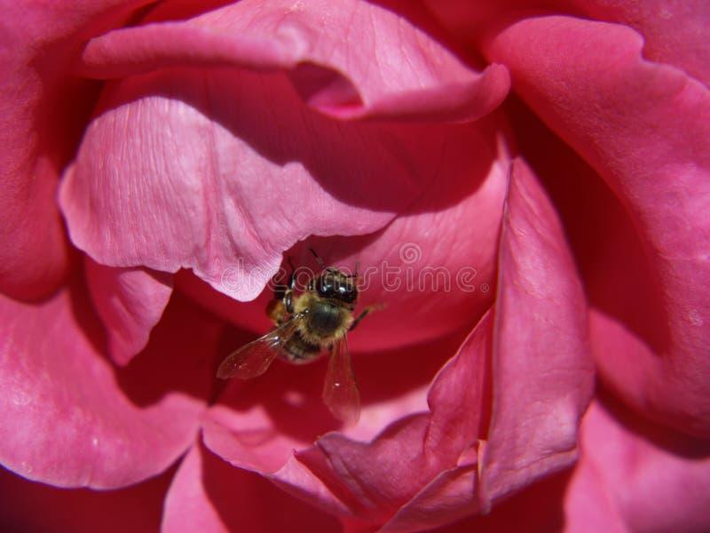 Il bello contrasto, l'ape del miele ed il cerise sono aumentato fotografia stock libera da diritti