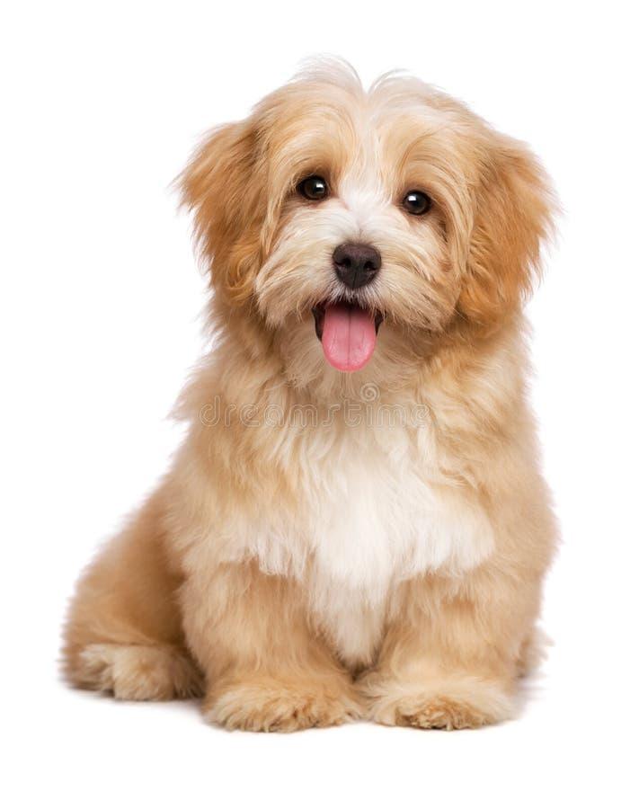 Il bello cucciolo di cane havanese rossastro felice sta sedendosi il frontale fotografia stock
