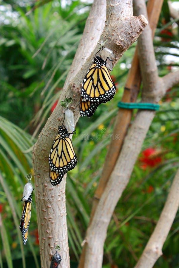Il bello danaus plexippus della farfalla che riposa sui rami di vecchio albero immagine stock libera da diritti