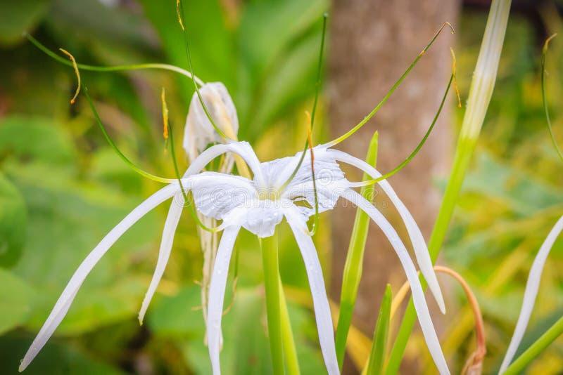 Il bello fiore bianco del asiaticum di Crinum (lampadina del veleno, giglio gigante di crinum, grande giglio di crinum, giglio de fotografia stock libera da diritti