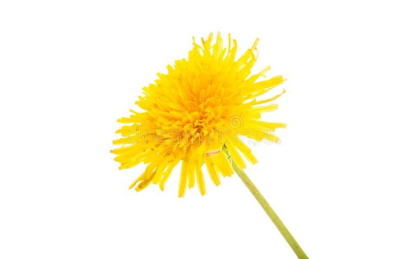 Il bello fiore del dente di leone ha isolato immagine stock