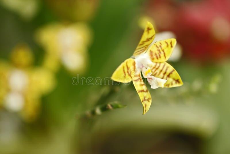 Il bello fiore dell'orchidea si sviluppa in giardino tropicale con sfondo naturale, la macro naturale del primo piano della carta immagine stock
