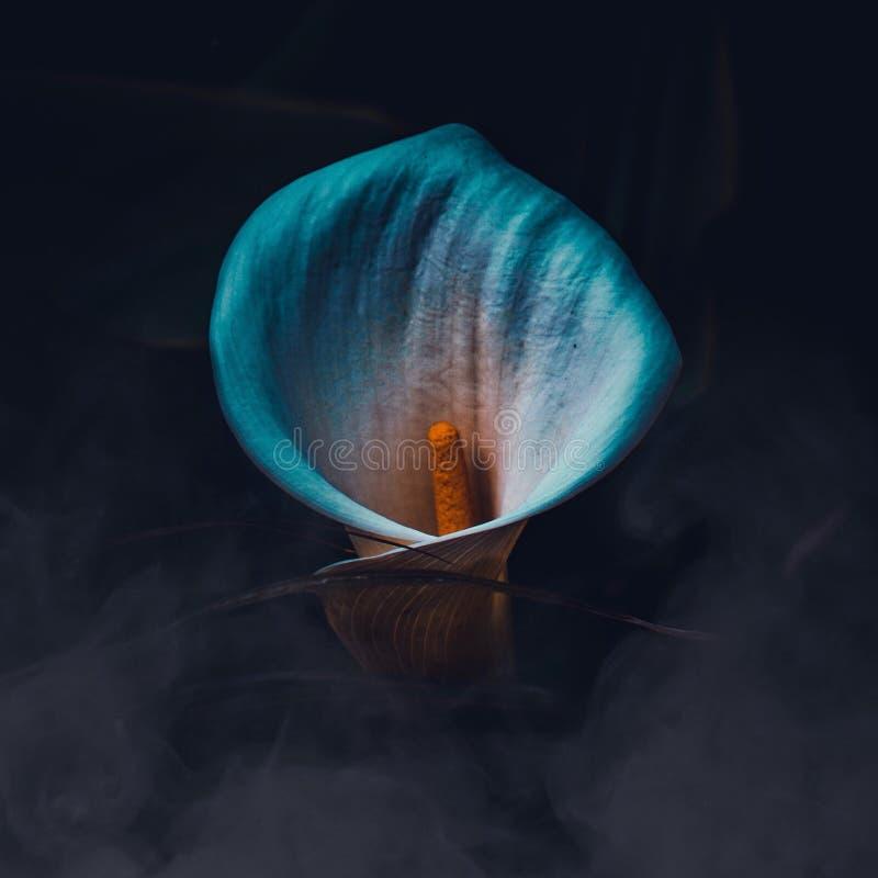 Il bello fiore della calla immagini stock