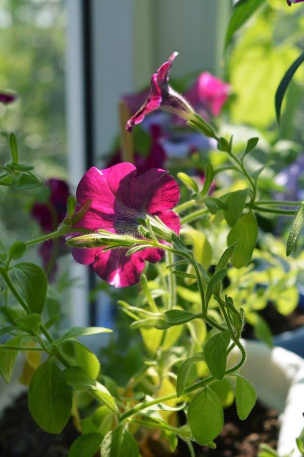 Il bello fiore della petunia si sviluppa sul balcone Piante in vaso nell'inverdimento domestico immagine stock