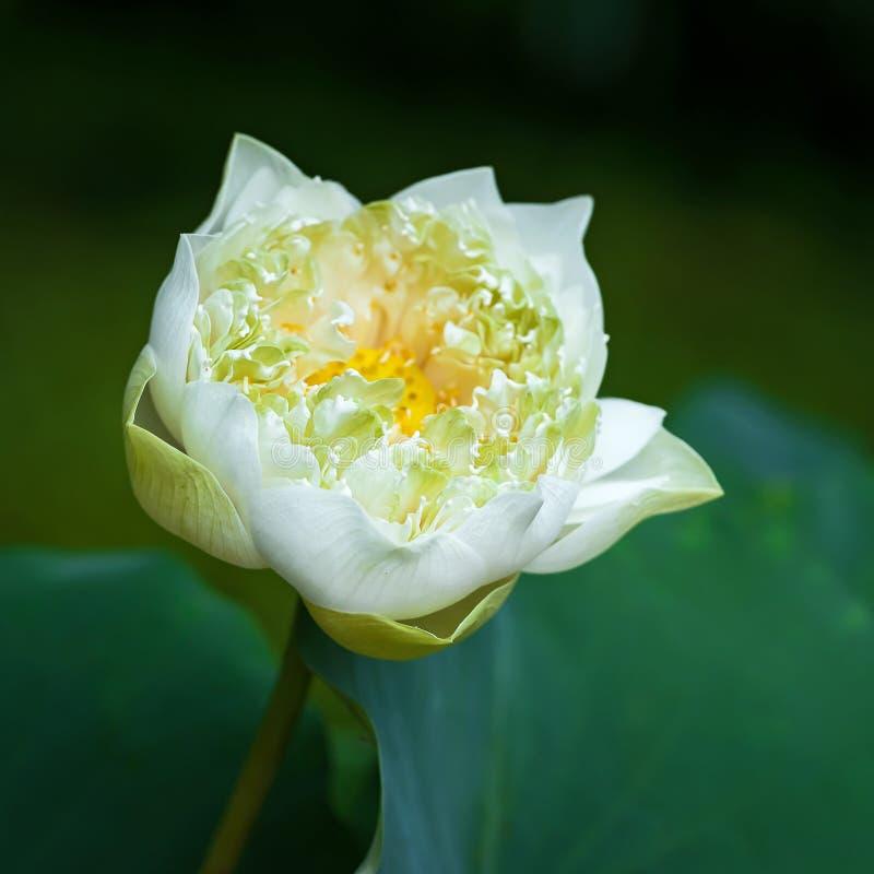 Il bello fiore di loto bianco nei giardini fotografia stock libera da diritti