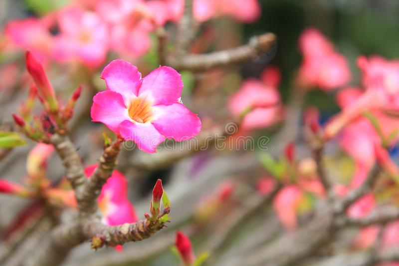 Il bello fiore per il biglietto di S. Valentino festivo, molti alti vicini azalea rosa fiorisce la fioritura nel cortile del giar illustrazione vettoriale