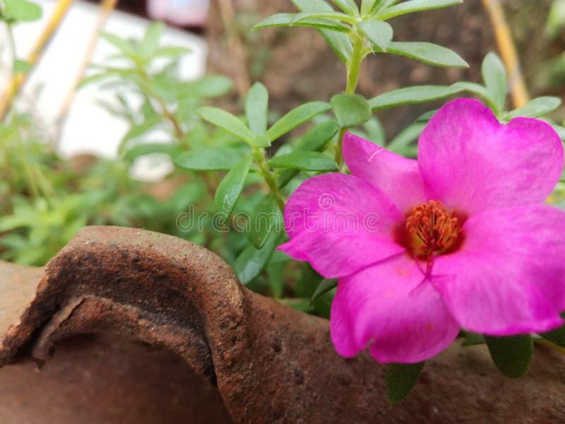 Il bello fiore rosa di colore immagini stock libere da diritti