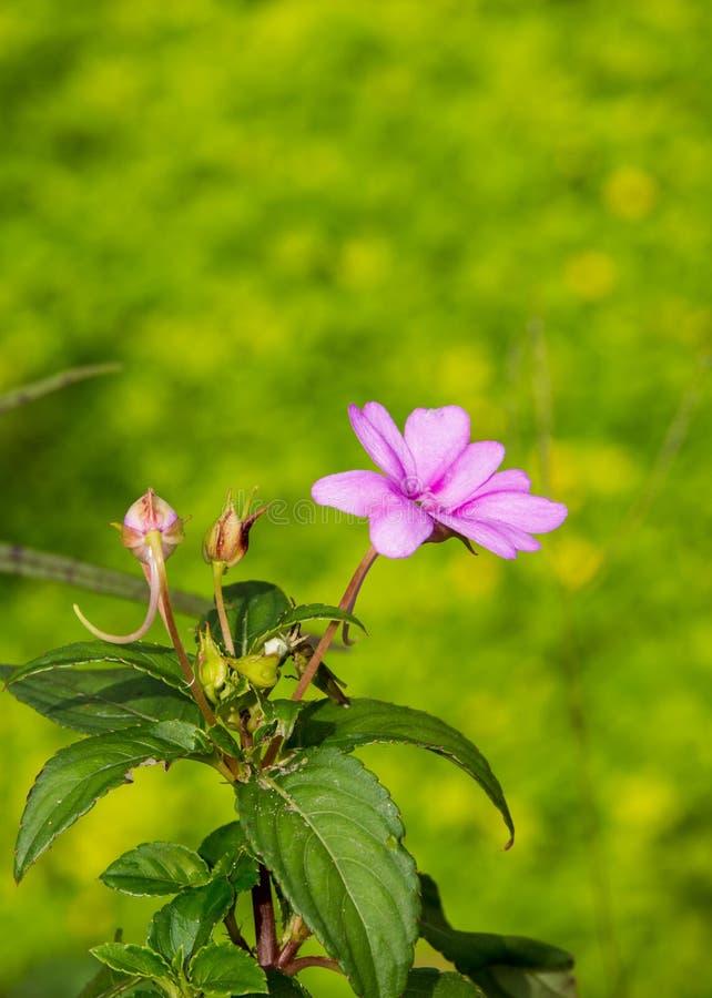 Il bello fiore rosa, germogli fiorisce e foglie con fondo confuso immagini stock