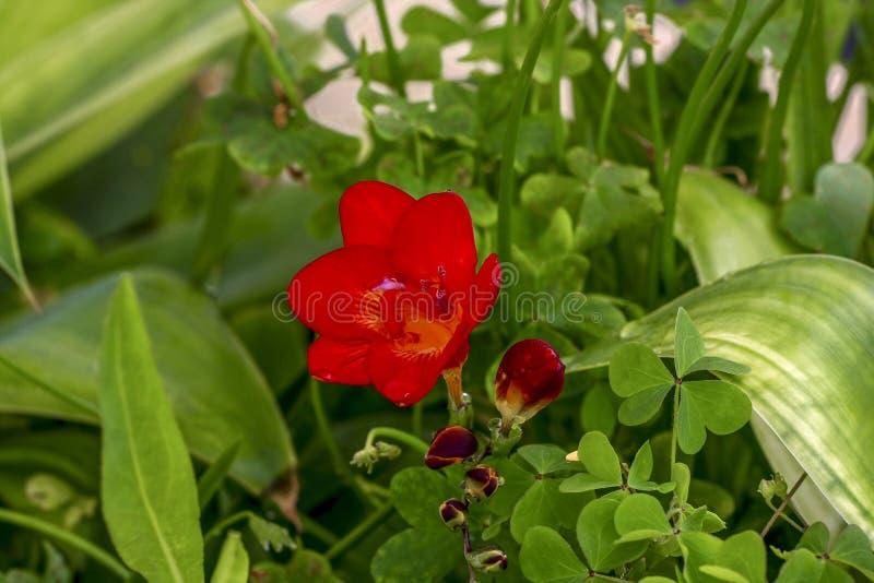 Il bello fiore rosso si è rannicchiato l'erba fotografia stock