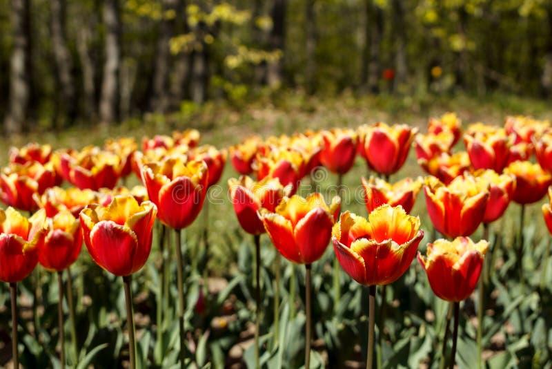Il bello fondo della molla con rosso e giallo ha guarnito i tulipani di frange fotografia stock