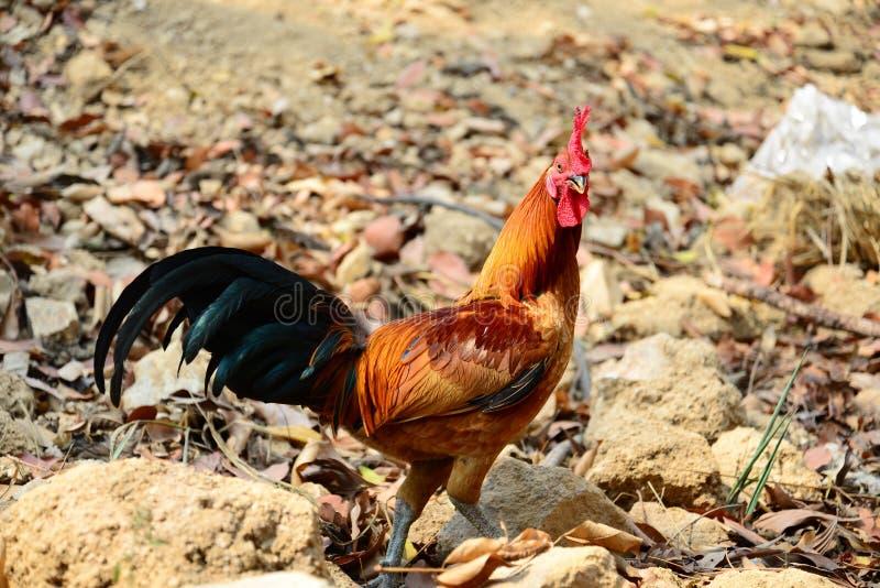 Il bello gallo rosso che cammina sulla terra fotografie stock libere da diritti