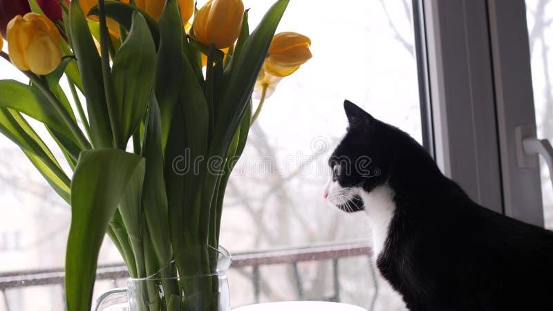 Il bello gatto in bianco e nero domestico accanto ad un mazzo dei fiori guarda fuori la finestra Mazzo dei tulipani gialli lento fotografia stock