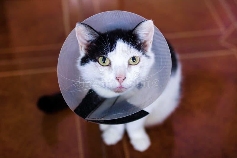 Il bello gatto bianco nero con il collare medico di plastica sta sedendosi su un pavimento e sta esaminando la macchina fotografi fotografia stock