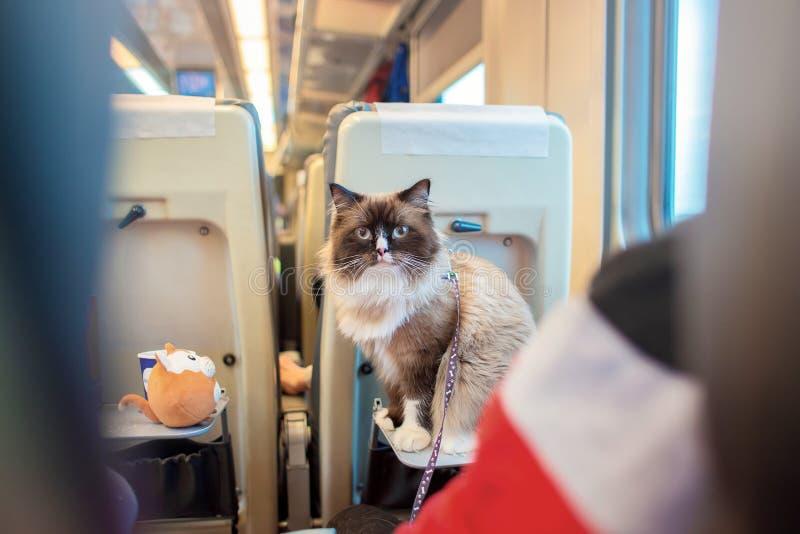 Il bello gatto con gli occhi azzurri della razza che un ragdoll si siede su un tavolo pieghevole nell'automobile del treno passeg fotografia stock libera da diritti