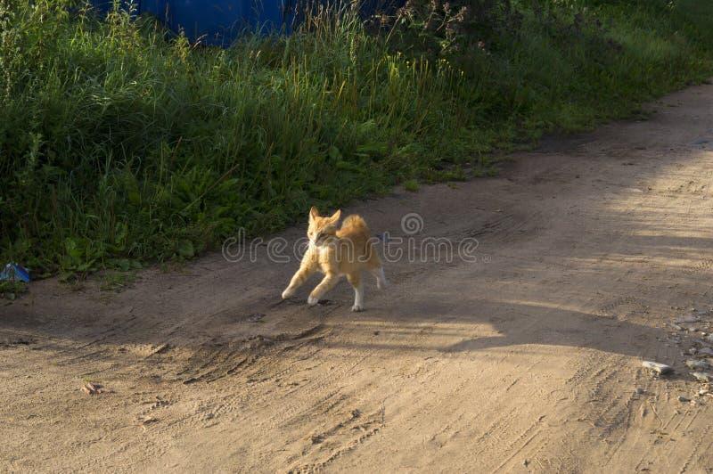 Il bello gatto di soriano è militante circa la porta di legno fotografia stock