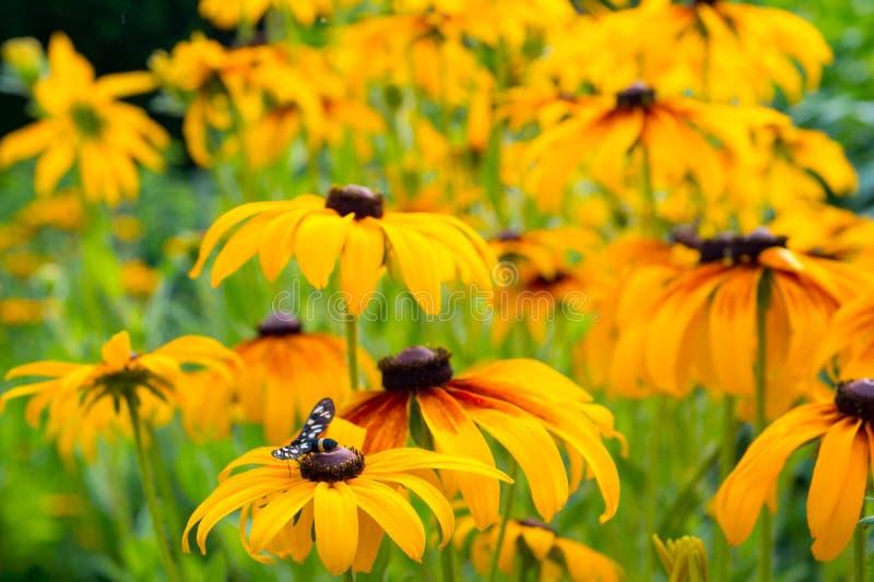 Il bello giallo fiorisce il paradoxa dell'echinacea con l'estremità variopinta immagine stock