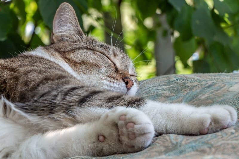 Il bello giovane gatto di soriano adulto con gli occhi chiusi ed il naso bagnato del velluto marrone dorme su un cuscino marrone  immagine stock