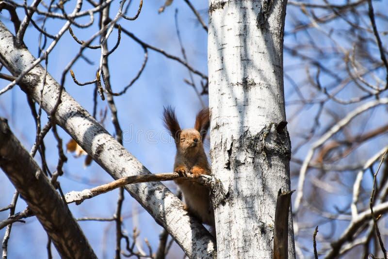 Il bello giovane scoiattolo rosso ha chiuso i suoi occhi e gode di buon tempo e del sole della molla immagini stock