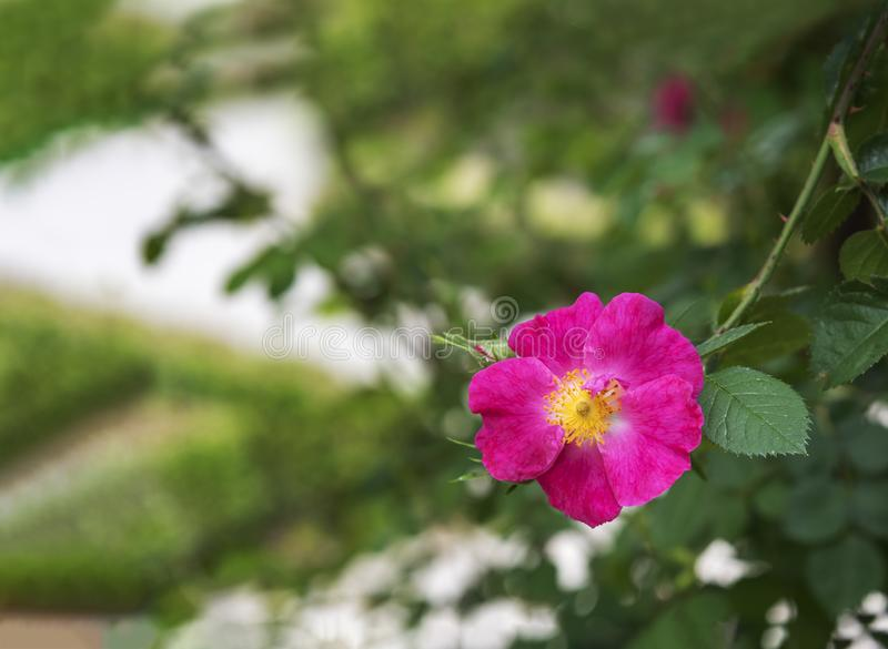 Il bello nutkana rosa è aumentato immagini stock libere da diritti