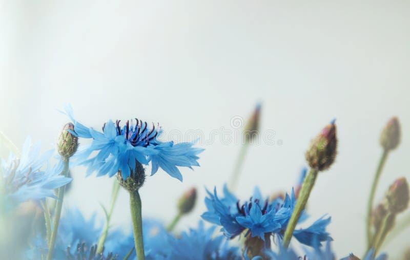 Il bello paesaggio con fiordaliso blu fiorisce su un fondo bianco, campo dell'estate Bokeh astratto floreale del fiore e immagini stock libere da diritti