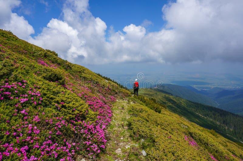 Il bello paesaggio con rododendro rosa fiorisce sulla montagna, di estate. fotografia stock
