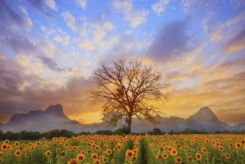 Il bello paesaggio del ramo di albero asciutto ed il giacimento di fiori del sole contro il cielo oscuro di sera variopinta usano fotografia stock libera da diritti