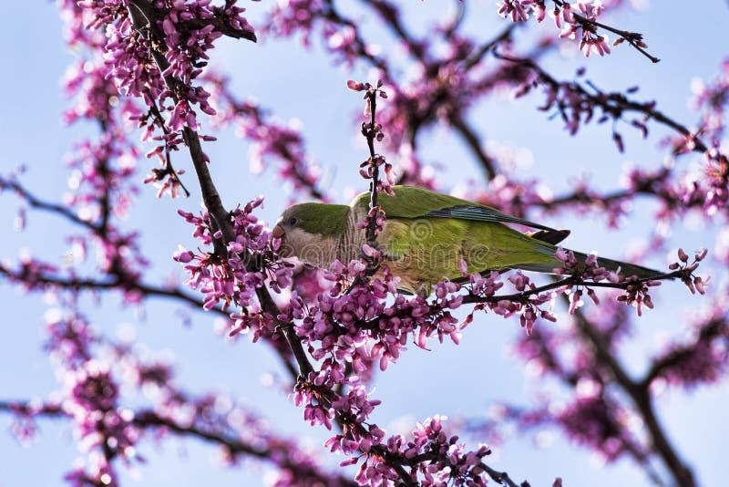 Il bello pappagallo selvaggio del parrocchetto dal collare mangia i fiori rosa dell'albero di Giuda fotografia stock libera da diritti