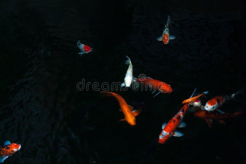 Il bello pesce di koi che nuota nello stagno scuro, carpe operate pesca o nuotata di Koi in stagno nel giardino fotografie stock libere da diritti