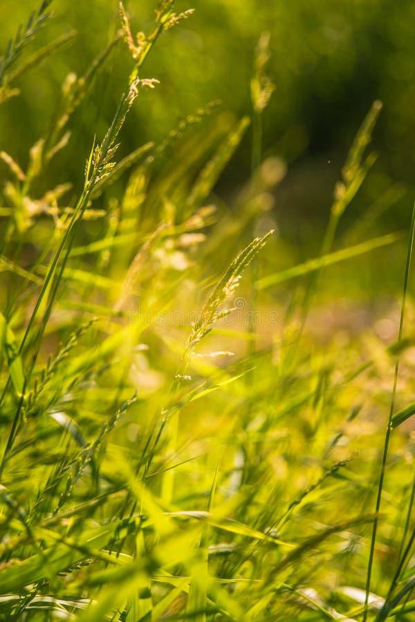 Il bello prato dell'estate fiorisce ed erbe durante il giorno festivo di metà dell'estate in Lettonia fotografie stock