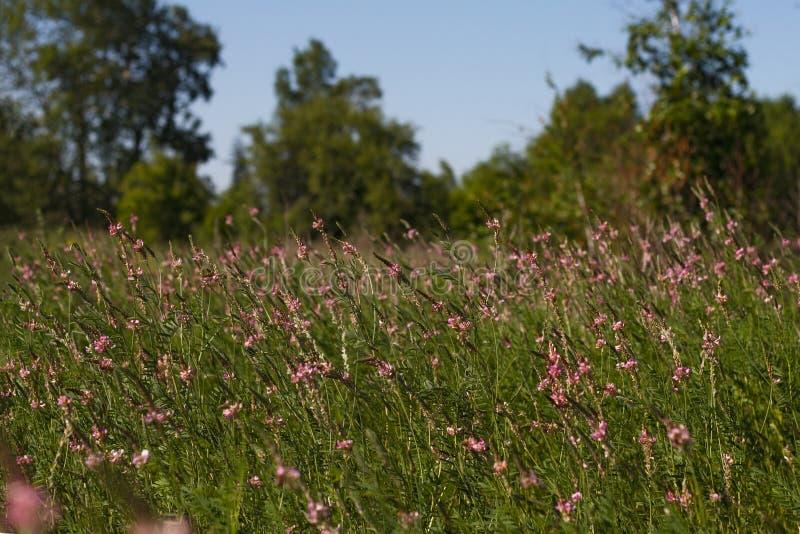 Il bello prato rurale con la foresta di rosa selvaggio fiorisce un giorno di estate soleggiato su un fondo naturale del cielo fotografia stock