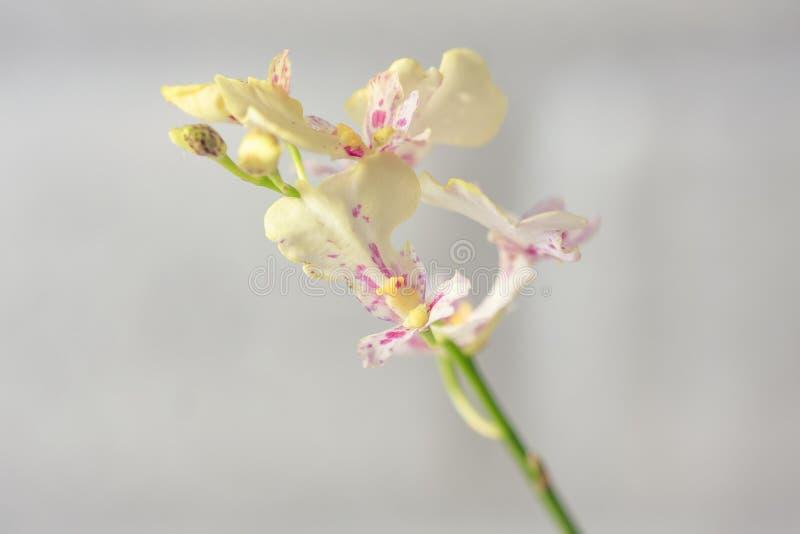 Il bello primo piano di un oncidium bianco dell'orchidea scintilla mini orchidea immagini stock