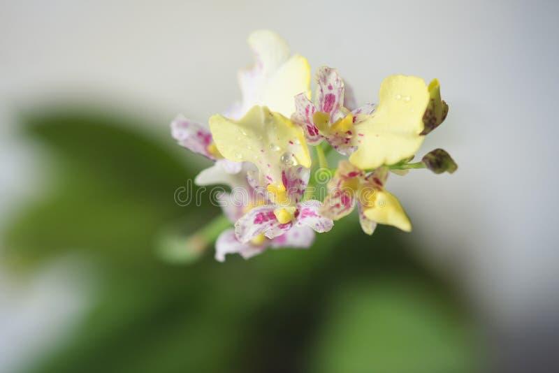 Il bello primo piano di un oncidium bianco dell'orchidea scintilla mini orchidea immagine stock