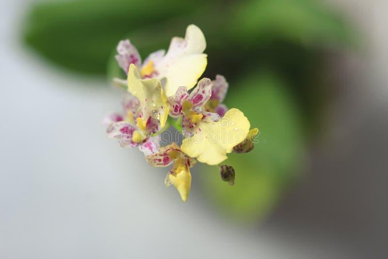 Il bello primo piano di un oncidium bianco dell'orchidea scintilla mini orchidea fotografie stock