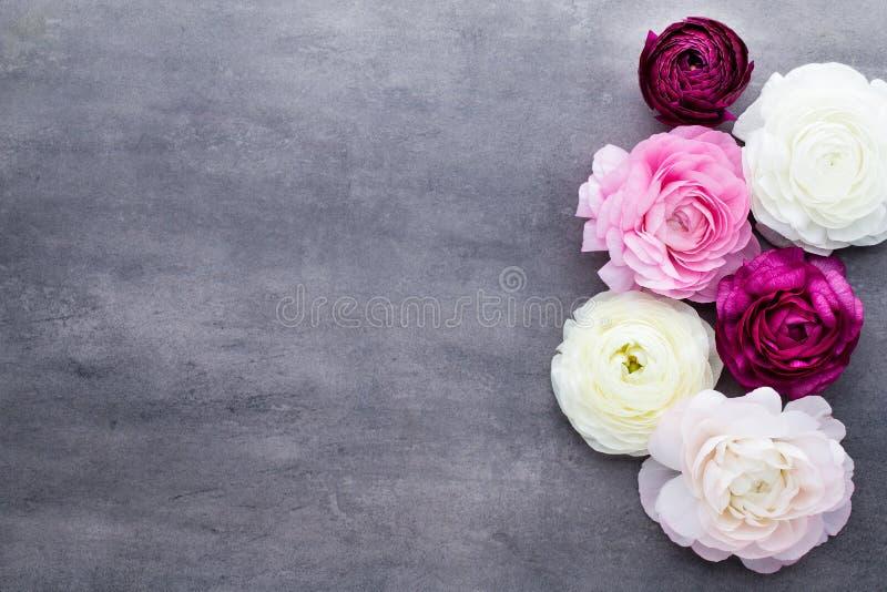 Il bello ranunculus colorato fiorisce su un fondo grigio fotografia stock