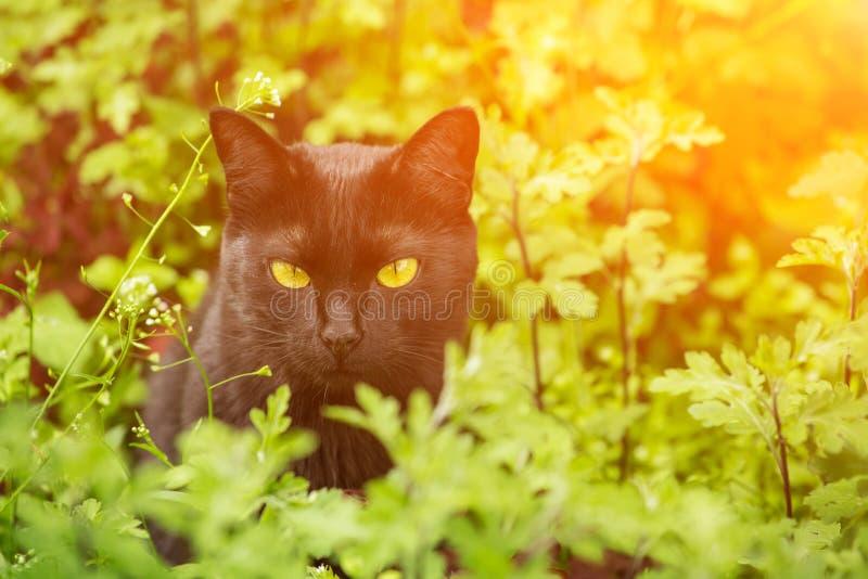 Il bello ritratto serio del gatto nero di Bombay con giallo osserva in erba al sole fotografia stock