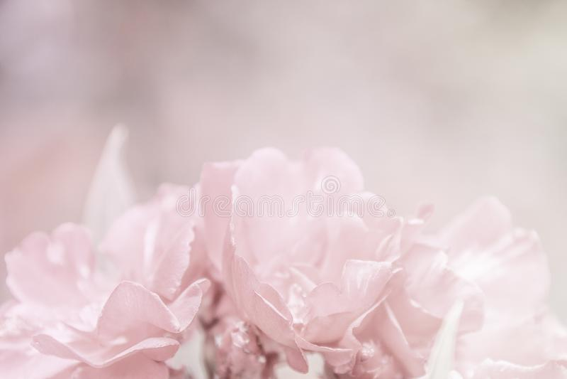 Il bello rosa astratto fiorisce la struttura del modello del primo piano fotografie stock