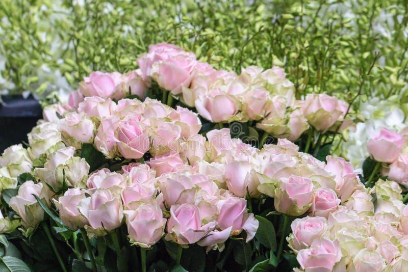 Il bello rosa del fuoco selettivo e le rose verdi fioriscono il fondo immagine stock