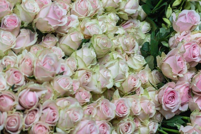 Il bello rosa del fuoco selettivo e le rose verdi fioriscono il fondo fotografia stock