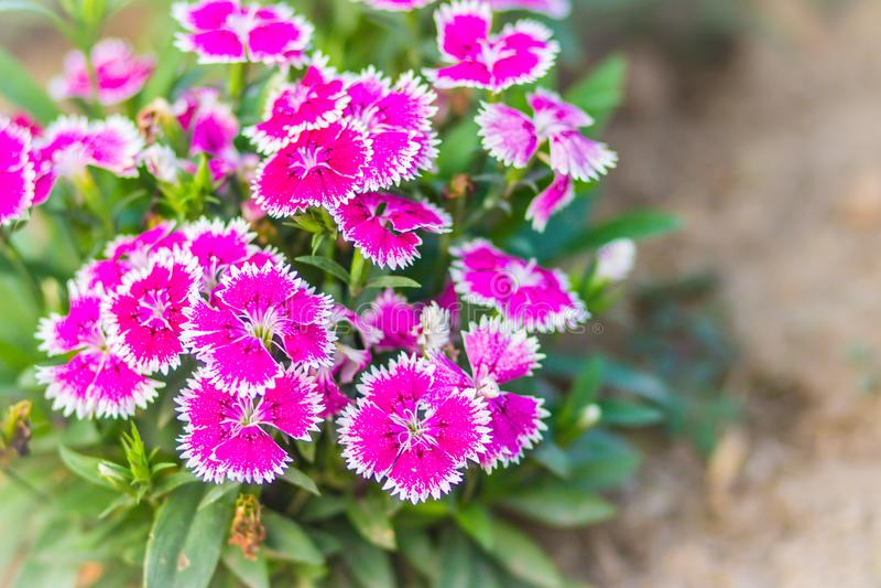 Il bello rosa fiorisce il fondo di Snowfire di fioritura, la bambola della Cina, il fiore di rosa di Cina, Dianthus rosa fiorisce fotografie stock